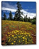 """OR, Wallowa-Whitman NF Yellow eriogonum by Steve Terrill - 19"""" x 24"""" Gallery Wrapped Giclee Art Print on Canvas - Ready to Hang"""