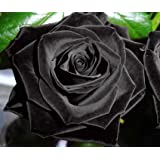 Exotic Plants Rose nero – Rosa nero - 10 semi