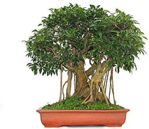 Bonsai Solitär groß in Schale inkl. Landschaft, Chinesische Feige, Ficus retusa, ca. 50 Jahre alt