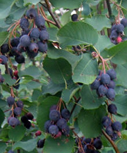 1 Shadblow Serviceberry shrubs bareroot 1 foot tall