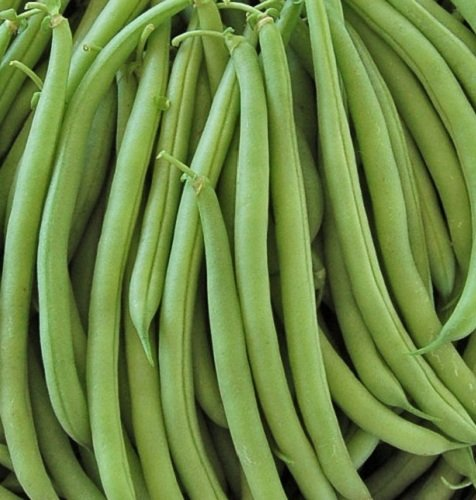 (Bush Bean - Heirloom - Provider - 20 Seeds)