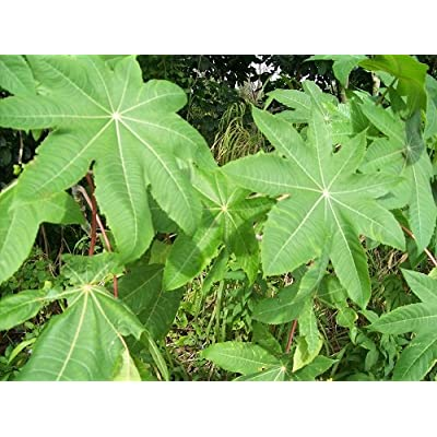Castor Leaf 10 Whole -FRESH Organic -Pure-home Grown-10 Leaves-organic Palma Christi : Garden & Outdoor