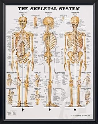 Amazon Skeletal System Deupair 20x26 Pocket Frame Human