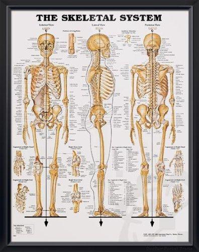 "Skeletal System, DeuPair 20x26"" Pocket Frame Human Anatomy Poster"