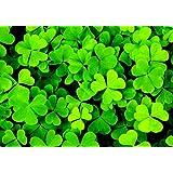 Portal Cool 1500 Clover Seeds Irish/Trois Sheets/Shamrock Trifolium Dubium