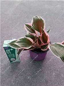 Exótico Semilla de plantas Hosta cuatro estaciones de flores perennes mixto de semillas de llantén flor del lirio de la cubierta de tierra del jardín de flores 50pcs 22 Suministros