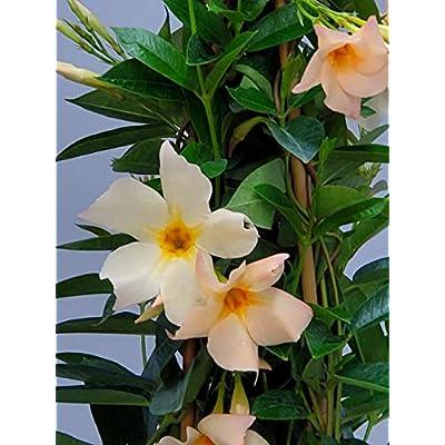 Live Mandevilla Plant - Apricot Mandevilla Trellis - 3 Gallon Pot - Tropical Plants of Florida - Overall Height 36