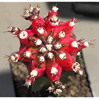 Cactus Plants Gymnocalycium mihanovichii VAR. 4.2 cm.(Rootstock) : Garden & Outdoor