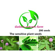 100 Seeds, Sensitive Plant (Mimosa Pudica) Seeds by Seed Needs