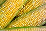 Peaches & Cream Sweet Corn Non-GMO Seeds - 4 Oz, 500 Seeds - by Seeds2Go