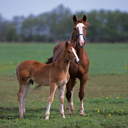 (Groningen Horses, Mare with Foal Giclee Art Print Poster or)
