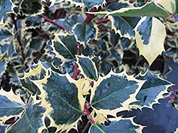 Ilex Aquifolium Rubricaulis Aurea Gelbbunte Stechpalme Rubricaulis