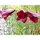 ANGEBOT : 3 Blumenzwiebeln : Lilium - Trompeten-Lilie Pink Perfection