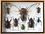 REAL CICADA AND MIXS INSECT TAXIDERMY SET IN BOXES DISPLAY FOR COLLECTIBLES