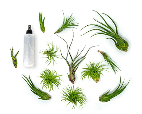 12 Live Air Plant Variety Pack | Large Tillandsia Terrarium Kit with Spray Bottle Mister for Water / Fertilizer | Assorted Species