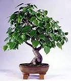 Sacred Buddha Fig Tree 10 Seeds/Seed - Ficus religiosa