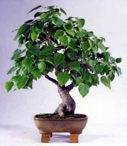 Sacred Buddha Fig Tree 10 Seeds/Seed - Ficus religiosa Buddhas Fig