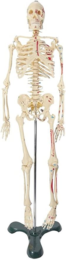 Painted and Numbered Big Tim Skeleton Model CMS65 Anatomical Chart Company