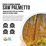 Saw Palmetto Extract – 10X