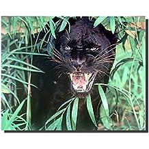Wild Animal Picture Wall Decor Black Panther (Jaguar, Big Cat) Art Print Poster (16x20)