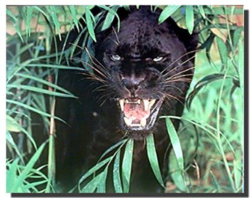 Wild Animal Picture Wall Decor Black Panther (Jaguar, Big Cat) Art Print Poster (16x20)