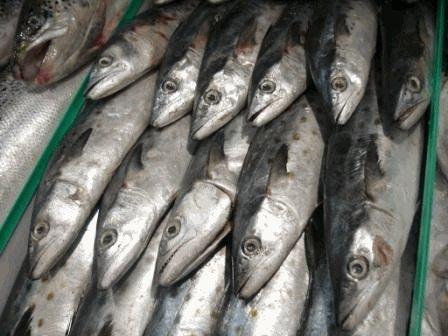 Fresh Atlantic Spanish Mackerel4 lb.