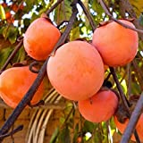 JAPANESE PERSIMMON TREE1 FT FLOWERING FRUIT TREES LIVE PLANTS TREES