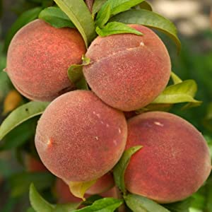 DWARF PATIO PEACH TREE Superb Fruit U0026 Plant U0026 Flower Gift For Birthday,New  Home Or Just A Simple Thankyou