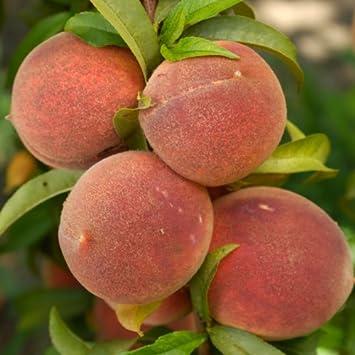 DWARF PATIO PEACH TREE Superb Fruit U0026 Plant U0026 Flower Gift For Birthday,New