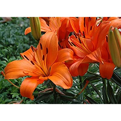 Pack x2 Lillium Asiatic Lily Bulbs/Tubers 18/20cm: Garden & Outdoor