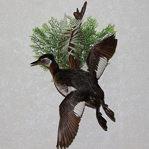 GREAT CRESTED GREBE - TAXIDERMY BIRD MOUNT, STUFFED BIRD FOR