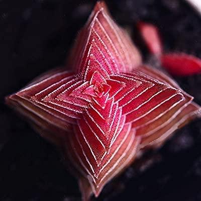 FOReverweihuajz - 100 semillas de árbol de Buda, color rojo ...