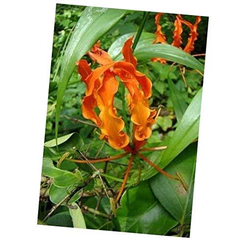 Seeds Gloriosa Orange Glory Vine 10 Seeds, Climbing Flame Lily Perennial Flower