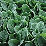 Seaside F1 Spinach Seeds (40 Seed Pack)