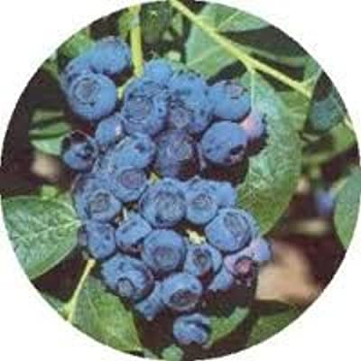 100 Tifblue Blueberry Seeds