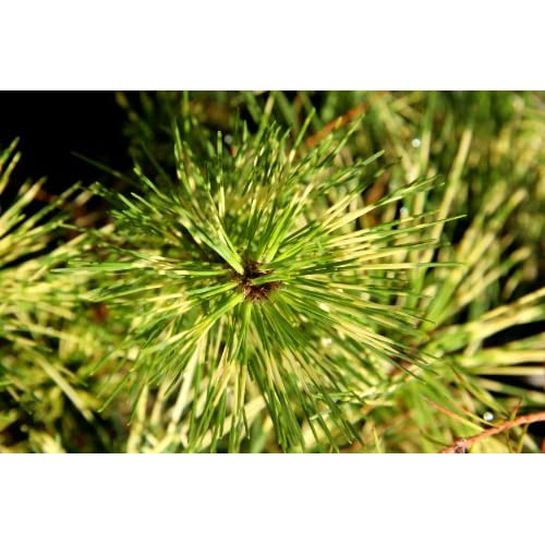 Nice Dragon Eye Japanese Red Pine - Cessarini Variegated 3 - Year Live Tree hot sale