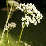 lichtnelke - Baldrian (Valeriana officinalis)