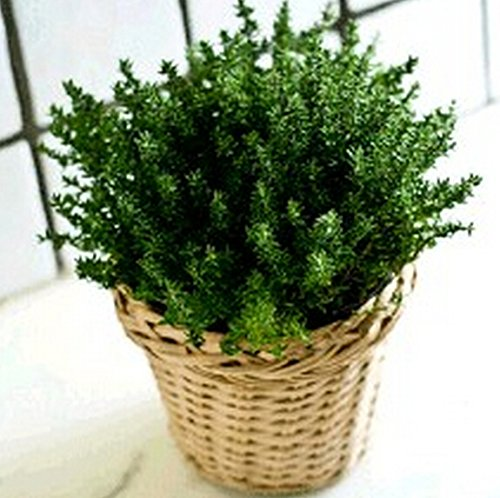 Hot Sale! 400 Lemon thyme Herb garden Plant vegetable Seeds Thymus Citriodorus Mosquito Repelling Creeping Culinary,Easy to grow (Lemon Thyme)