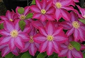 Clematis kakio 10 seeds huge pink flowers amazon garden clematis kakio 10 seeds huge pink flowers mightylinksfo