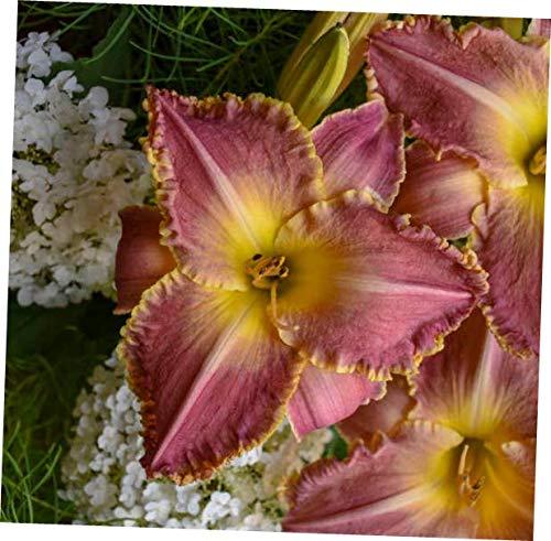 TXA Plant Hemerocallis 'Judy Judy' - Daylily. Perennial. Plant. - EB16 (Semi Daylilies Evergreen)