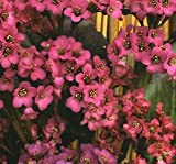 Bergenia cordifolia Winterglut (Winter Glow) 250 seeds