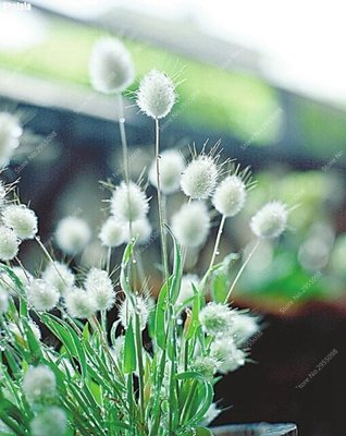 300pcs/ bag Exotic Rabbit Tails Grass Seeds Mixed Color Blooming Bonsai Potted Perennial Grasses for Mini Garden (Perennial Garden Grasses)