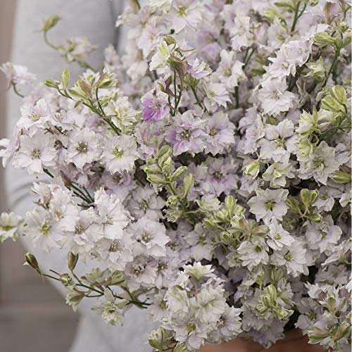 (David's Garden Seeds Flower Larkspur Fancy Smokey Eyes SL0947 (Multi) 200 Non-GMO, Open Pollinated)