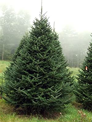 Homegrown Fir Tree Seeds, 35, Balsam Fir aka Christmas Tree