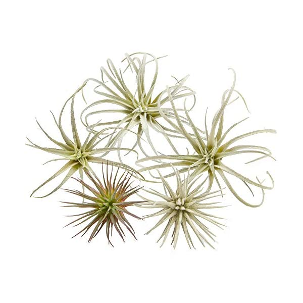 Chive – Set of 5 Fake Artificial Faux Tillandsia Air Plants Bromeliads for Indoor/Outdoor Garden and Home Decor, Terrarium Decorations, Arrangements, and Display (Small)