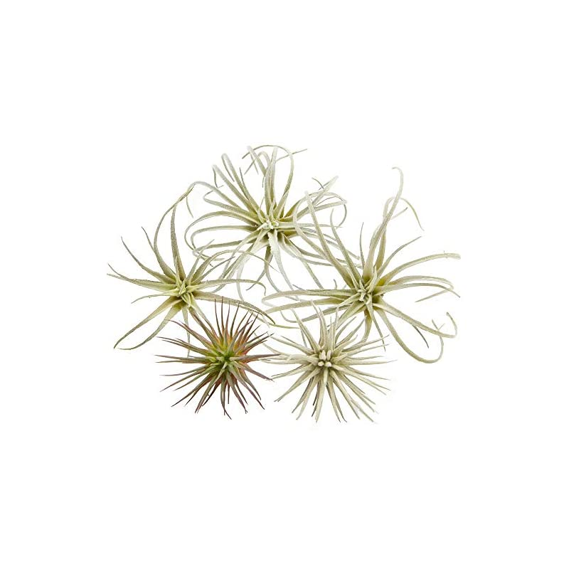silk flower arrangements chive - set of 5 fake artificial faux tillandsia air plants bromeliads for indoor/outdoor garden and home decor, terrarium decorations, arrangements, and display (small)
