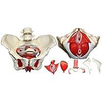 Skelett24 3308, Modelo Anatómico de Pelvis Femenina, 7