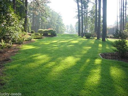 Amazon Com Zenith Zoysia Grass Seed 100 Pure 1 2 Lb Plants 500 Sq Ft Garden Outdoor