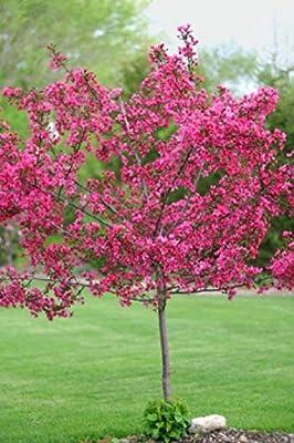 Go Garden 5 Dwarf Pink Dogwood Seeds Tree Cornus Florida Fubra Flowering Hardy Fall Color