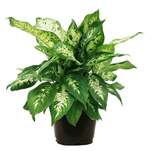 Delray Plants Dumb Cane (Dieffenbachia) in Pot